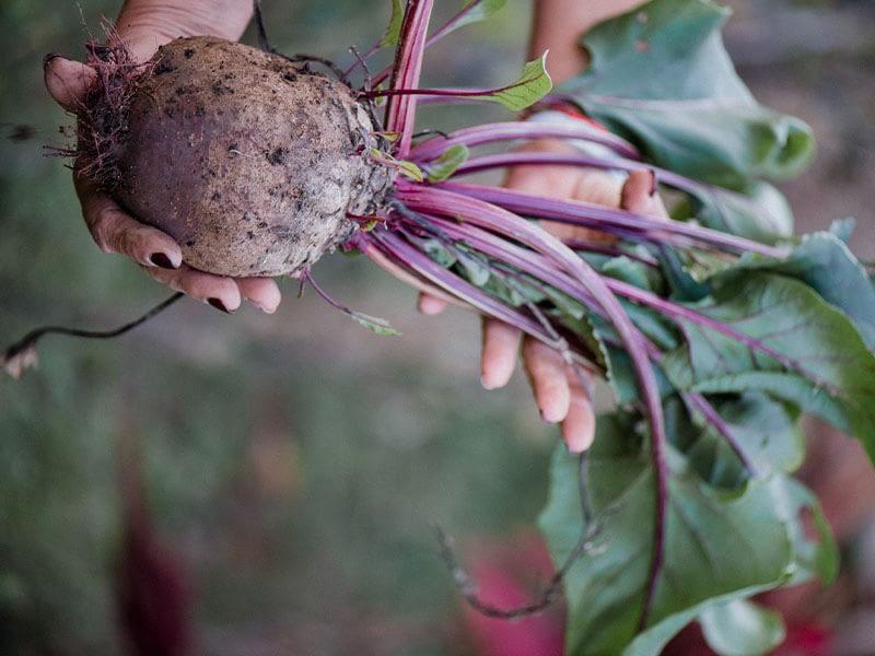 Grønsag holdes frem og gives videre